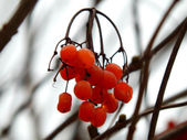 Red ashberry on a branch in autumn — Stock Photo