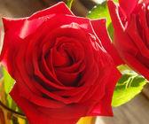 美丽的花 — — 一大朵的红玫瑰,用其花瓣特写的爱的象征 — 图库照片