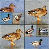 Beautiful duck drake on the frozen lake — Stock Photo