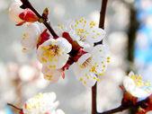 Spring cherry blossom flowers - sakura - over blue sky — Photo