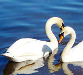 White swans swimming in water — Stock Photo