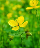 Yellow flower celandine closeup — Foto Stock