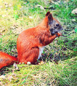 Funny little squirrel eating a nut — Стоковое фото