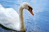 White swan swimming in blue water — Stock Photo