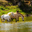 Horses in lake — Foto Stock