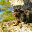 Monkey in habitat — Stock Photo