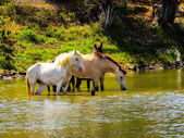 Horses in lake — Stockfoto