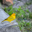 Stock Photo: Yellow Bird