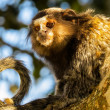 Stockfoto: Monkey Star