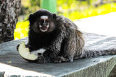 Monkey eating fruit — Stock Photo