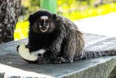 Monkey eating fruit — Stock Photo
