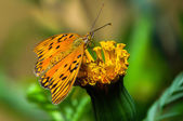 Butterfly insect Beautiful in Flower — Stock Photo