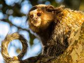 обезьяна звезда — Стоковое фото