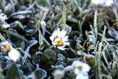 Frozen daisy — Stock Photo
