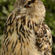 Eurasian eagle owl portrait — Stock Photo