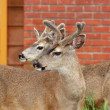 Deer in the city — Stock Photo