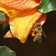 Stock Photo: Honey bee gathers pollen on spring day
