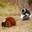 Stock Photo: Lemurs on grass