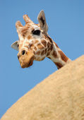Curious giraffe peeking from behind a rock — Stock Photo