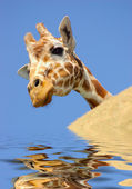 Giraffe behind a rock in water — Stock Photo