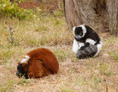 Lemurs on the grass — Stock Photo