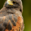 Harris hawk portrait — Stock Photo #36858167