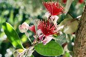 Flowering Feijoa (Acca sellowiana) — Stock Photo