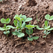 Pea sprouts — Stockfoto