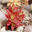 Succulentus Echeveria — Stock Photo #36087209