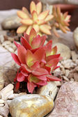 Succulentus Echeveria — Stock Photo