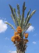 Harvest of dates — Stock Photo