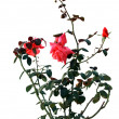 Bush of a red rose — Stock Photo #36138285