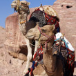 Two camels — Stock Photo #36138355