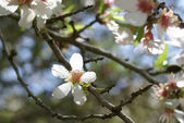 Flowering of almond — Stock Photo