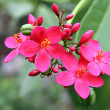 Jatropha edged (Coral Flower) — Stock Photo
