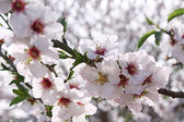 Flowering almond trees — Stock Photo