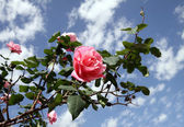Roses against the sky — Stock Photo