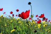 Anemones bloom — Stock Photo