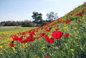 Anemones bloom — Zdjęcie stockowe
