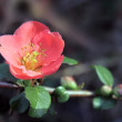 Chaenomeles japonica — Stock Photo #39987407
