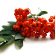 Stock Photo: Bunch of mountain ash