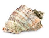 Marine seashell isolated on white background — Stock Photo