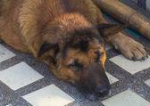 Thajské pes — Stock fotografie