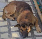 Tay köpek — Stok fotoğraf