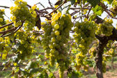 Grapes for wine making, grape growing. — Stock Photo
