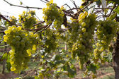 Grapes for wine making, grape growing. — Stok fotoğraf