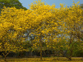 Golden Tree , Tallow Pui ,Tabeduia chrysantha (Jacq.)Nichols. — Stock Photo