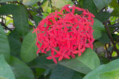 Red Ixora coccinea — Stock Photo