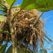 Nest on the tree, nests made of grass. — Stock Photo #50250675