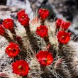 Red cactus flowers — Stock Photo